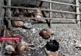 Загадочный хищник запугал жителей агрогородка под Брестом (видео)