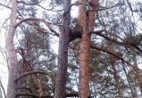 В Беловежской пуще заметили редчайшее природное явление – срастание сосен