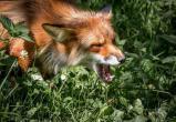В Пинском районе ввели карантин из-за бешеной лисы