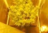 Рабочий из Ивацевичей выращивал коноплю у себя дома (видео)
