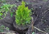 В Бресте более 30 тысяч деревьев высадили за год