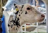 У Бреста появился живой талисман 2021 года – белый бычок