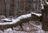 Лесника убило упавшим деревом в Дрогичинском районе