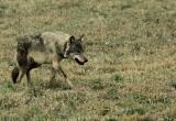 Волк пытался напасть на людей в Пинском районе
