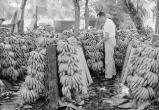 Для лояльных бонусы, несогласным – революция: как банановая компания строила бизнес в Центральной Америке