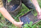 Сельчане под Житомиром с боями отстаивают урожай черники от заезжих бригад сборщиков