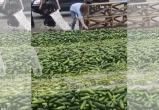 Фермеры уничтожают огурцы в Ольшанах из-за низкой закупочной цены